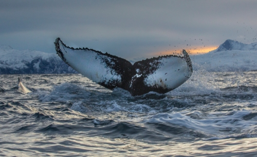 The photo of the 8,000th whale in the NAHWC database at Allied Whale, taken off Tromso, Norway, by Audun Rikardsen of Arctic Coast Photography.