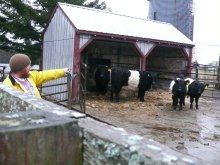 "Peggy Rockefeller Farms Manager C.J. Walke tends to the herd of four Belted Galloway cows acquired Nov. 20 from Aldermere Farms — one of the world's premier breeders of ""Belties"" — in Rockland."